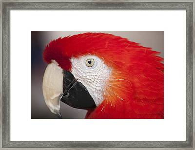 Scarlet Macaw Perched At A Local Plaza Framed Print by Malisa Nicolau
