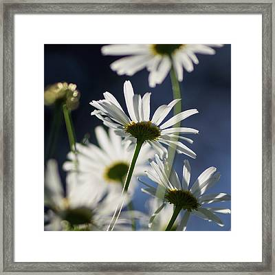 Scentless Mayweed Framed Print