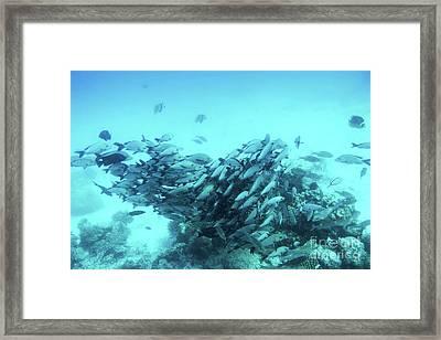 School Of Fish Fish In Indian Ocean, Maldives. Framed Print