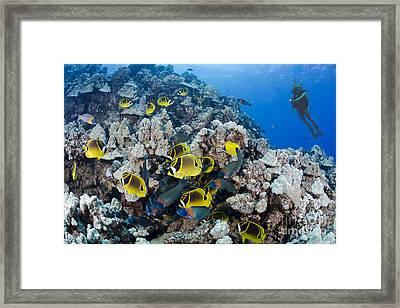 Schooling Raccoon Butterflyfish Framed Print by Dave Fleetham