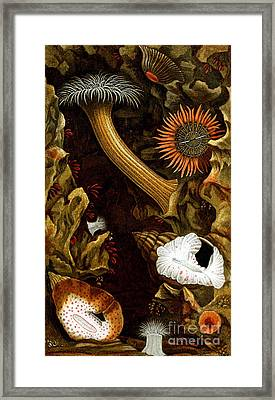 Sea Anemones, 1860 Framed Print
