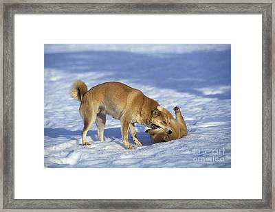 Shiba Inu And Her Puppy Framed Print by Jean-Louis Klein & Marie-Luce Hubert