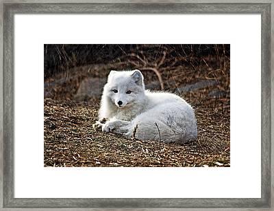 Snow Fox Framed Print