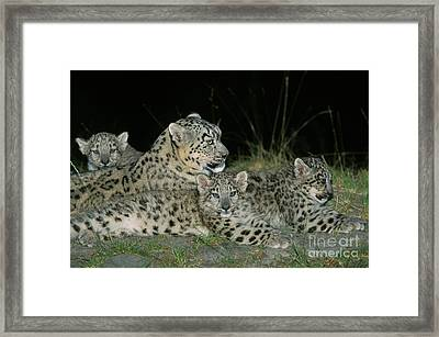 Snow Leopard Or Ounce Uncia Uncia Framed Print by Gerard Lacz