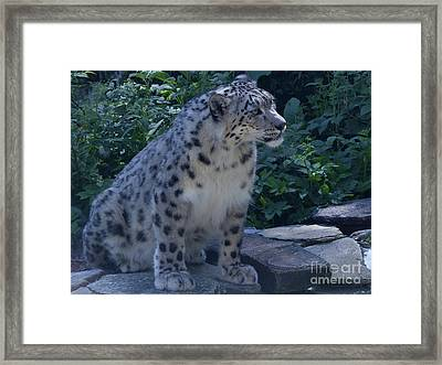 Snow Leopard Framed Print by Phil Banks