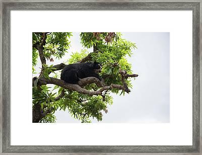 Spectacled Bears Framed Print