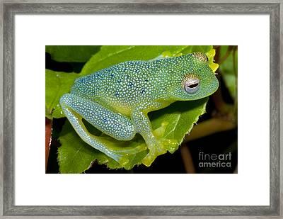 Spiny Glass Frog Framed Print by Dante Fenolio