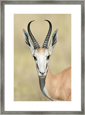 Springbok Antidorcas Marsupialis Framed Print