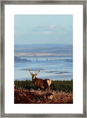 Stag Overlooking The Beauly Firth And Inverness Framed Print
