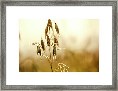 Summer Oat Framed Print by Nailia Schwarz