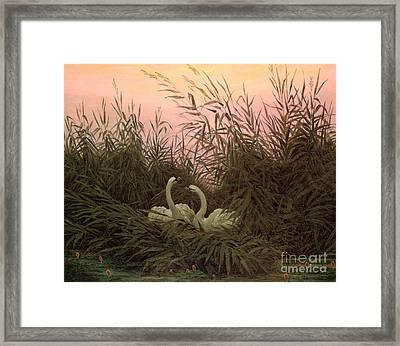 Swans In The Reeds Framed Print by Caspar David Friedrich