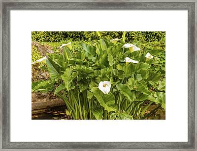 The Acquatic White  Calla Lily  Known As Zantedeschia Aethiopica Framed Print by Susanna Mattioda