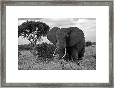 The Old Bull Framed Print