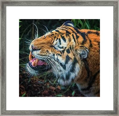 Tiger Roar Framed Print