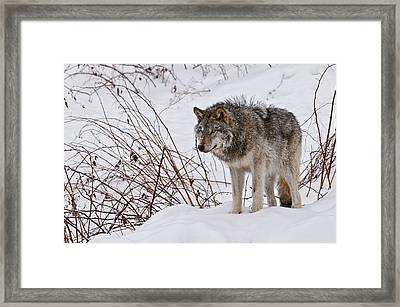 Framed Print featuring the photograph Timber Wolf In Winter by Michael Cummings