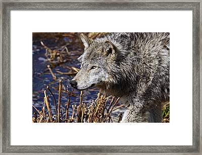 Framed Print featuring the photograph Timber Wolf by Michael Cummings