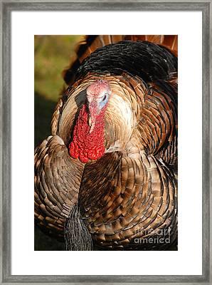 Tom Turkey Framed Print by Dennis Hammer