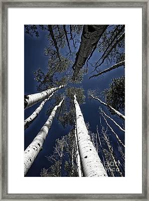Towering Aspens Framed Print by Timothy Johnson
