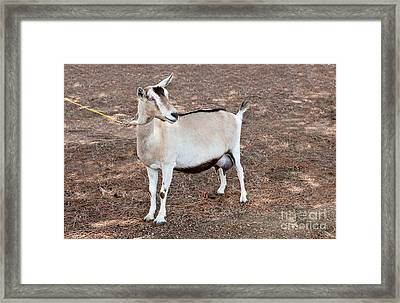 Transgenic Goat Framed Print by Inga Spence