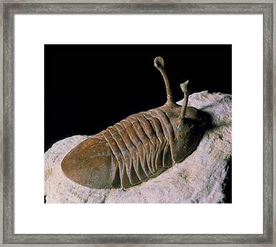 Trilobite Fossil Framed Print by Sinclair Stammers