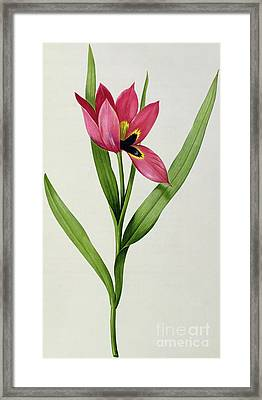Tulip Framed Print by Pierre Joseph Redoute