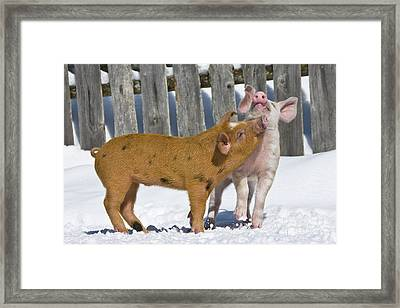 Two Piglets Playing Framed Print by Jean-Louis Klein and Marie-Luce Hubert