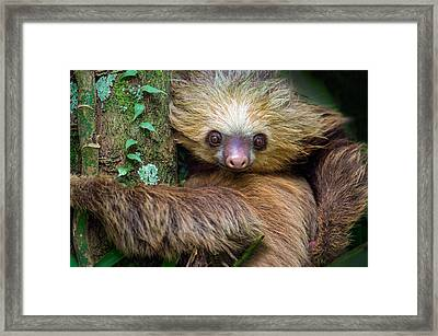 Two-toed Sloth Choloepus Didactylus Framed Print