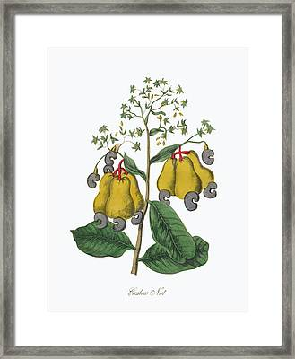 Victorian Botanical Illustration Of Cashew Nut Framed Print by Peacock Graphics