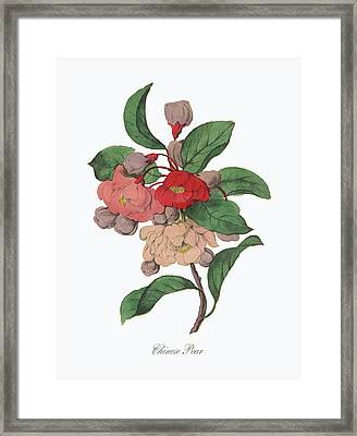 Victorian Botanical Illustration Of Chinese Pear Framed Print by Peacock Graphics