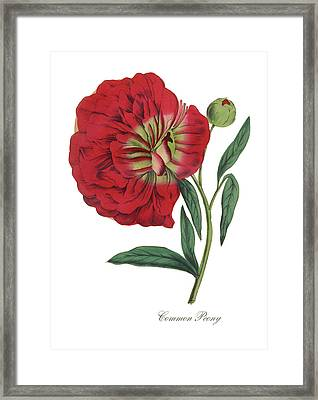 Victorian Botanical Illustration Of Common Peony Framed Print by Peacock Graphics