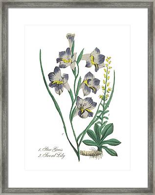 Victorian Botanical Illustration Of Star Grass And Sword Lily Framed Print by Peacock Graphics