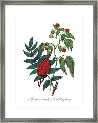 Victorian Botanical Illustration Of Upland Sumach And Red Raspberry Framed Print by Peacock Graphics