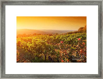 Vineyard In Tuscany, Ripe Grapes At Sunset Framed Print by Michal Bednarek