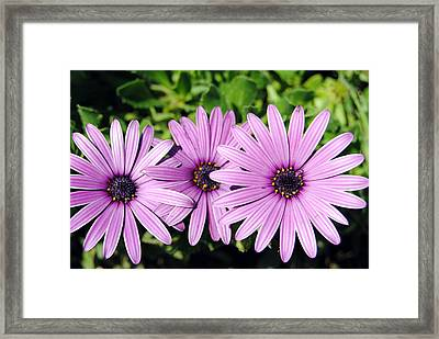 The African Daisy 2 Framed Print by Isam Awad