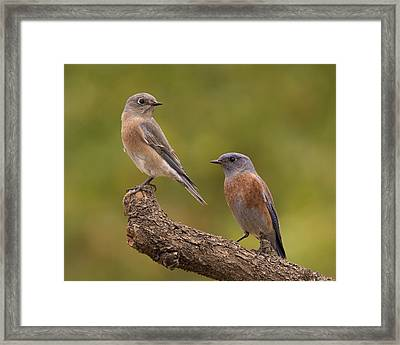 Western Bluebird Framed Print by Doug Herr