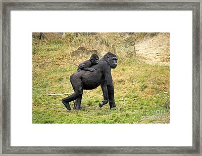 Western Gorilla And Young Framed Print by Jurgen & Christine Sohns/FLPA