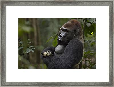 Western Lowland Gorilla Male Silverback Portrait Framed Print by Anup Shah