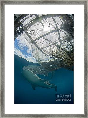 Whale Shark Swimming Framed Print by Mathieu Meur