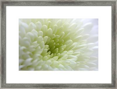 White Chrysanthemum Framed Print