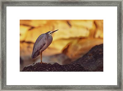White-faced Heron At The Beach Framed Print