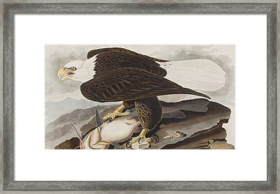 White-headed Eagle Framed Print