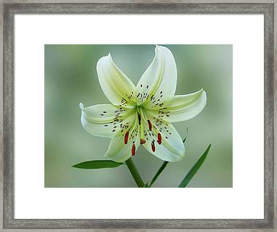 Golden Rayed Lily Framed Print by Sandy Keeton