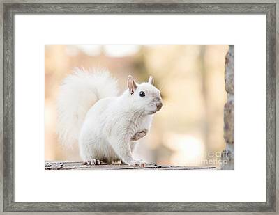 White Squirrel Framed Print