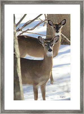 White Tailed Deer Smithtown New York Framed Print by Bob Savage