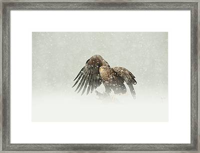 White-tailed Eagle Framed Print