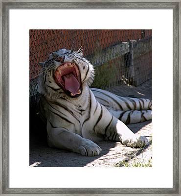 White Tiger Framed Print by LeeAnn McLaneGoetz McLaneGoetzStudioLLCcom