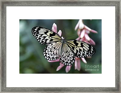 White Tree Nymph Butterfly Framed Print