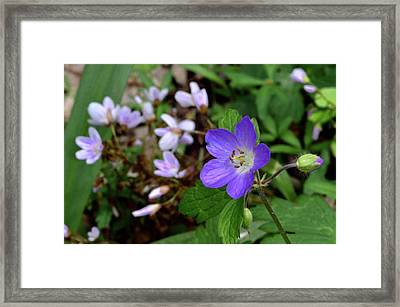 Wild Geranium Framed Print by Tim Good
