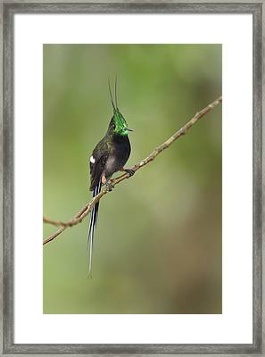 Wire-crested Thorntail In Ecuador Framed Print