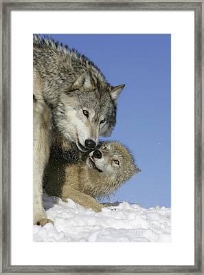 Wolf Social Behavior Framed Print by Jean-Louis Klein & Marie-Luce Hubert